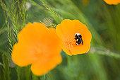 蜜蜂,罂粟