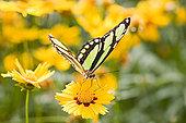 蝴蝶,黄花