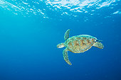 玳瑁,游泳,西巴丹岛,岛屿