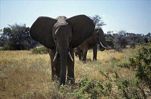 非洲大象族女人受得了