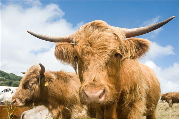 疯狂动物城里的牛