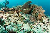 海龟,珊瑚,礁石