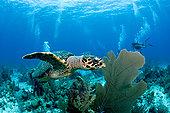 玳瑁,礁石