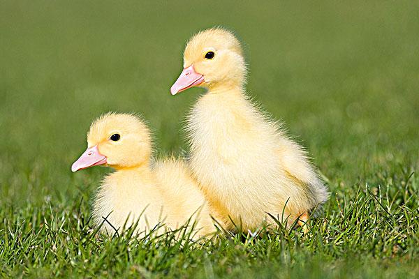 两只鸭子在草_全景图片