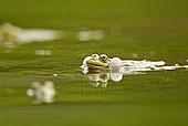 交配,青蛙,水中