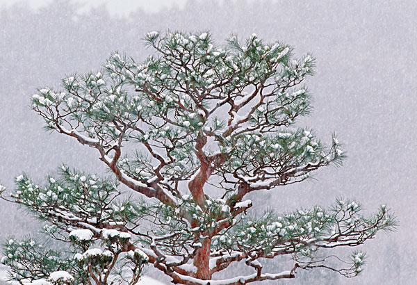 我喜欢分 享 标题: 标签: 松树,遮盖,新鲜,落下,雪,日本 描述: a