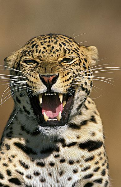 图片标题:豹,大型猫科动物,头像,成年,狰狞
