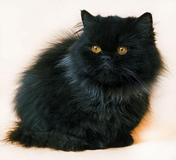 黑色,波斯人,家猫,成年,白色背景