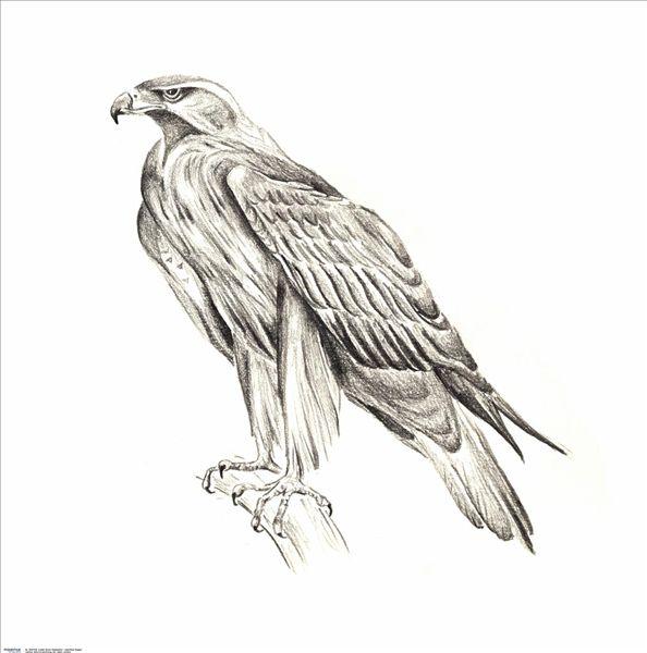 铅笔画,枝条,鹰,侧面,绘画,水彩,插画,手绘,动物,鸟,石头