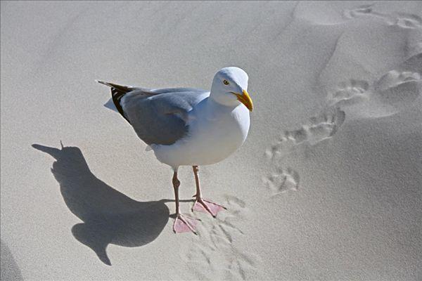 图片标题:沙滩,银鸥,俯视