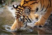虎,饮用水,坦帕,佛罗里达,美国