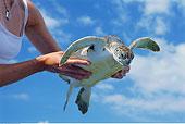 海龟,女人,手,大开曼岛,开曼群岛
