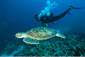 潜水,海龟,桑给巴尔岛,坦桑尼亚