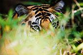 虎,班德哈维夫国家公园,中央邦,印度