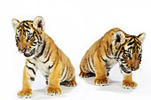 肖像,孟加拉虎,幼兽