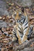 孟加拉虎,中央邦,印度