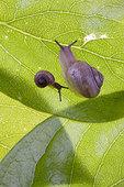 蜗牛,叶子,特写