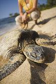 女人,看,海龟,海滩,靠近,夏威夷大岛,夏威夷