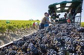 葡萄丰收,波亚克,阿基坦,法国