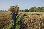 收获,作物,曼德勒,曼德勒省,缅甸