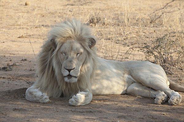 我喜欢分 享 标题: 标签: 睡觉,狮子,南非 描述: sleeping lion