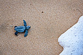 绿海龟,孵化动物,培育,印度尼西亚