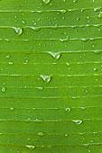 小水滴,叶子