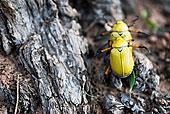 两个,金属,甲壳虫,求偶,柳树,大峡谷国家公园,亚利桑那