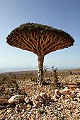 龙血树,索科特拉岛,也门
