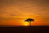 观,金合欢树,剪影,反对,美丽的日出,马赛玛拉国家保护区,肯尼亚,非洲