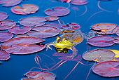 青蛙,荷叶,阿尔冈金省立公园,安大略省,加拿大