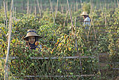 女人,挑选,西红柿,农场,地点,望濑,传说,区域,缅甸