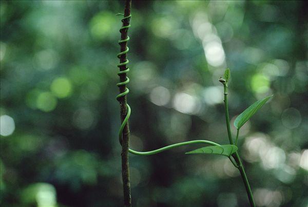 双子叶植物_双子叶植物图片