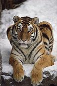 西伯利亚虎,东北虎,肖像,亚洲