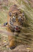 苏门答腊虎,幼兽,濒危物种,苏门答腊岛,圣地亚哥,野生动物,公园,加利福尼亚
