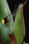 蜻蛉,巴拿马