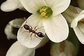 蚂蚁,授粉,山,花,科罗拉多