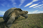 加拉帕戈斯巨龟,加拉帕戈斯象龟,干燥,季节,火山口,边缘,阿尔斯多火山,伊莎贝拉岛,加拉帕戈斯群岛,厄瓜多尔