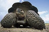 加拉帕戈斯巨龟,加拉帕戈斯象龟,大,火山口,边缘,阿尔斯多火山,伊莎贝拉岛,加拉帕戈斯群岛,厄瓜多尔