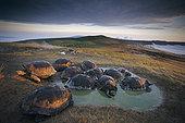 加拉帕戈斯巨龟,加拉帕戈斯象龟,大,竞争,留白,下雨,季节,边缘,阿尔斯多火山,伊莎贝拉岛,加拉帕戈斯群岛,厄瓜多尔