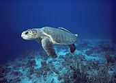 蠵龟,联结,甲壳,英属西印度群岛