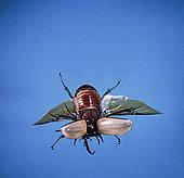 甲虫,飞,东南亚