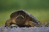 尤卡坦半岛,鳄龟,北美