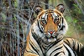 孟加拉虎,虎,肖像,班德哈维夫国家公园,中央邦,印度
