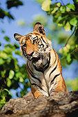 孟加拉虎,虎,俯视,班德哈维夫国家公园,中央邦,印度