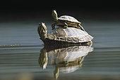 龟,一对,水塘,城市公园,慕尼黑,德国