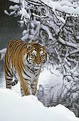 西伯利亚虎,东北虎,走,雪中,东北虎园,哈尔滨,中国