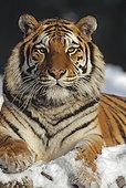 西伯利亚虎,东北虎,肖像,雪中,东北虎园,哈尔滨,中国