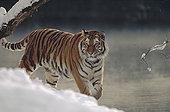 西伯利亚虎,东北虎,走,河岸,雪地,俄罗斯