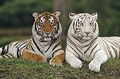 孟加拉虎,虎,一对,一个,色彩,印度